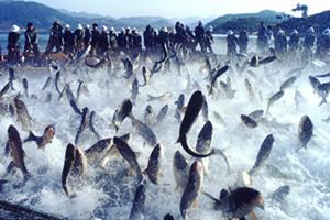 千岛湖有机鱼