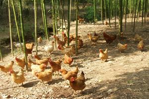 千岛湖生态鸡