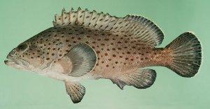 千岛湖特产--石斑鱼